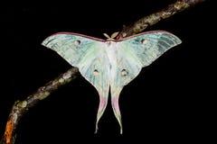 The Indian Moon Moth moth royalty free stock photos