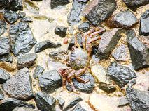 Indian Mud Crab - Scylla Serrata - among Stones. This is a photograph of an Indian Mud Crab, also known as mangrove crab or scylla serrata, captured at dona stock images