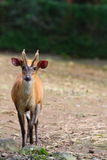 Indian Muntjac. The Common Muntjac, also called Indian Muntjac (Muntiacus muntjak) is the most numerous muntjac deer species. It has soft, short, brownish or Royalty Free Stock Photos