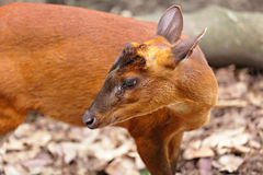 Indian Muntjac Royalty Free Stock Image