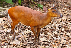 Indian muntjac Royalty Free Stock Images