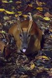 Barking deer resting in a dark forest during night. The Indian muntjac Muntiacus muntjak, also called red muntjac and barking deer, is a common muntjac deer Royalty Free Stock Image