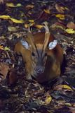 Barking deer resting in a dark forest during night. The Indian muntjac Muntiacus muntjak, also called red muntjac and barking deer, is a common muntjac deer Stock Image