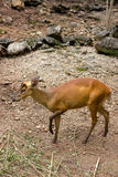 Indian muntjac Royalty Free Stock Photo