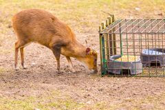 Indian muntjac photographed in animal park Stock Photos