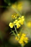 Indian Mustard flower stock photo