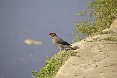 Indian myna, Acridotheres tristis Stock Images