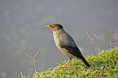Indian myna, Acridotheres tristis Stock Photography