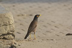Indian myna, Acridotheres tristis Royalty Free Stock Photos