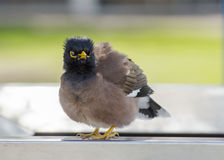 Indian Myna Stock Photos