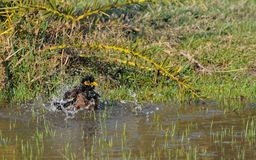Indian Myna bird (Acridotheres tristis ). Bathing in water Royalty Free Stock Photo