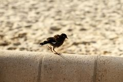 Indian Myna Bird chick on a parapet on the beach Stock Photo