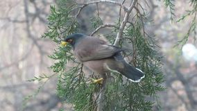 Indian myna bird stock video