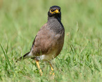 Indian Myna Bird. Myna bird in the grass looking towards you at Woy Woy, NSW, Australia Stock Photos