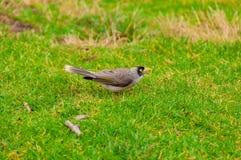 Indian Myna bird on green lawn Royalty Free Stock Photo