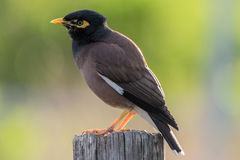 Indian Myna Bird. At Ocean Beach, Umina, NSW, Australia Stock Photo