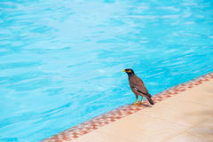 Indian Myna bird on the swimming pool Royalty Free Stock Photo