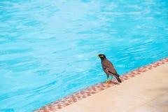 Indian Myna bird on the swimming pool Royalty Free Stock Photo