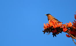 Indian  myna Royalty Free Stock Image
