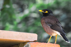 Indian Myna or Common Myna Stock Photo