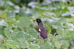 Indian Myna eating insect in bush Stock Photo