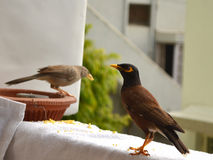 Indian Myna and Jungle Babbler bird. Indian Myna bird sitting and Jungle Babbler bird in background out of focus Royalty Free Stock Photography