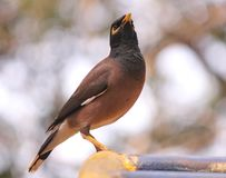 Indian Mynah stock images