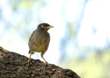 Indian Mynah bird against a funky background Stock Photos