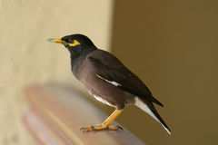Indian Mynah Stock Photo