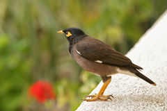 Indian Mynah Royalty Free Stock Photo