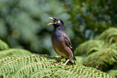 Indian Mynah Calling for his Chicks Royalty Free Stock Photos