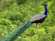 Indian national bird peacock Royalty Free Stock Photos
