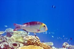 Indian ocean.   Fishes in corals Royalty Free Stock Photo