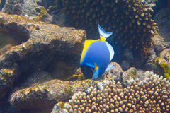Indian ocean. Fishes in corals. Maldives Stock Images