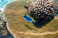 Indian ocean. Fishes in corals. Maldives Royalty Free Stock Photography