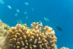 Indian ocean. Fishes in corals. Stock Photography