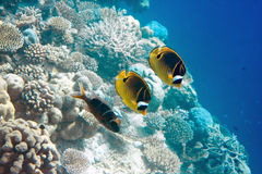 Indian ocean. Fishes in corals. Maldives Stock Photos