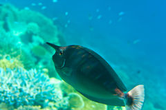 Indian ocean. Fishes in corals. Royalty Free Stock Image