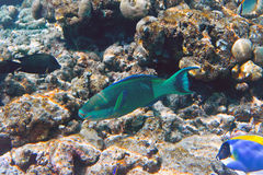 Indian ocean. Fishes in corals. Maldives Royalty Free Stock Images
