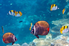 Indian ocean. Fishes in corals. Underwater landscape Stock Images