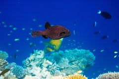 Indian ocean. Fishes in corals. Maldives Stock Image