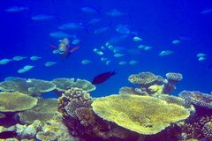 Indian ocean.   Fishes in thrickets of corals Stock Photos