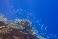Indian ocean.   Fishes in thrickets of corals Stock Photo