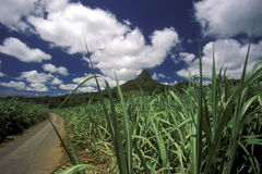 INDIAN OCEAN MAURITIUS SUGAR CANE PLANATION. Sugar cane plantation on the island of Mauritius in the indian ocean stock images