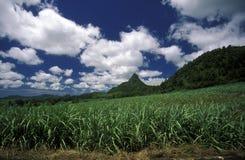 INDIAN OCEAN MAURITIUS SUGAR CANE PLANATION. Sugar cane plantation on the island of Mauritius in the indian ocean stock photos