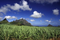 INDIAN OCEAN MAURITIUS SUGAR CANE PLANATION. Sugar cane plantation on the island of Mauritius in the indian ocean royalty free stock photography