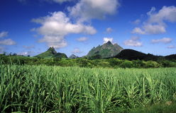 INDIAN OCEAN MAURITIUS SUGAR CANE PLANATION Royalty Free Stock Images