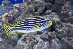 Indian Ocean oriental sweetlips Stock Images