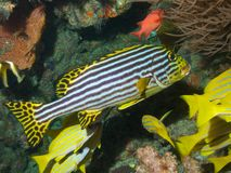 Indian Ocean Oriental Sweetlips Stock Photos
