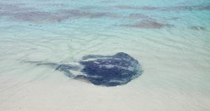 Indian Ocean Sting Ray Stock Photos